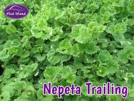patio-and-basket-plants-nepeta-trailing