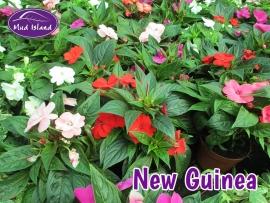 patio-and-basket-plants-new-guinea
