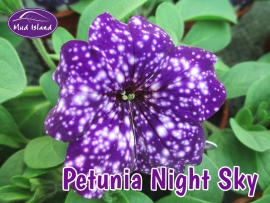 patio-and-basket-plants-petunia-Night-Sky