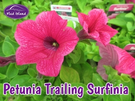 patio-and-basket-plants-petunia-trailing-surfinia