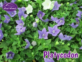 patio-and-basket-plants-platycodon