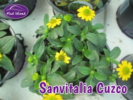 patio-and-basket-plants-sanvitalia-cuzco