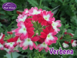 patio-and-basket-plants-verbena