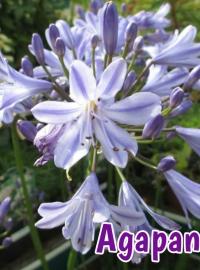 perennials-agapanthus