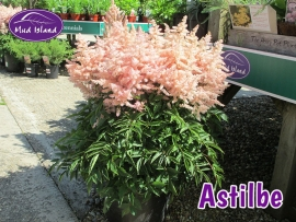 perennials-astilbe