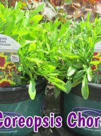 perennials-coreopsis-chorasan