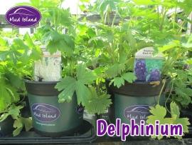 perennials-delphinium