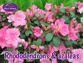 rhododendrons-amd-azaleas-1