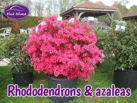 rhododendrons-amd-azaleas-3