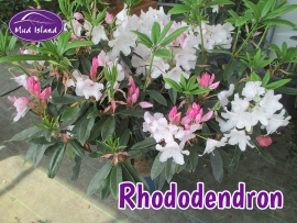rhododendrons-and-azaleas-2