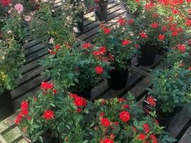 roses-10