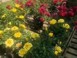 roses-11
