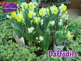 seeds-and-bulbs-daffodils