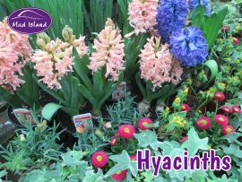 seeds-and-bulbs-hyacinths