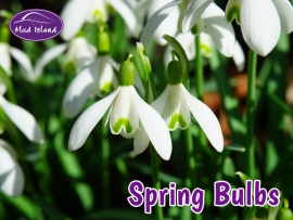 spring-bulbs-1
