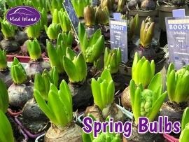 spring-bulbs-2