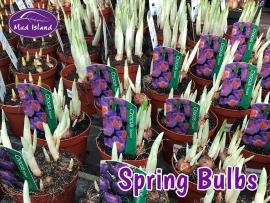 spring-bulbs-3