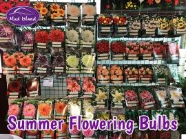 summer-flowering-bulbs-4