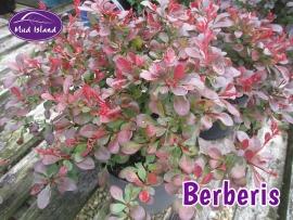 shrub-berberis
