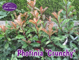 shrub-photinia-crunchy