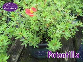 shrub-potentilla