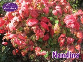 shrubs-nandina