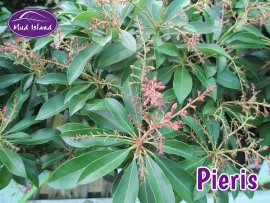 shrubs-pieris