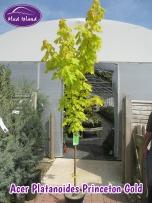 tree-acer-platanoides-princeton-gold