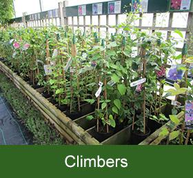 garden centre climbers