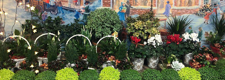 Christmas Houseplants, Bulbs and Mixed bowls