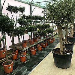 buy olive trees hampshire garden centre