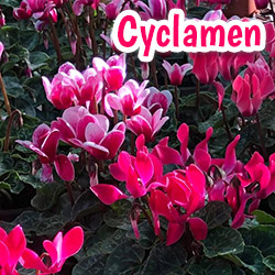 buy cyclamen hampshire garden centre